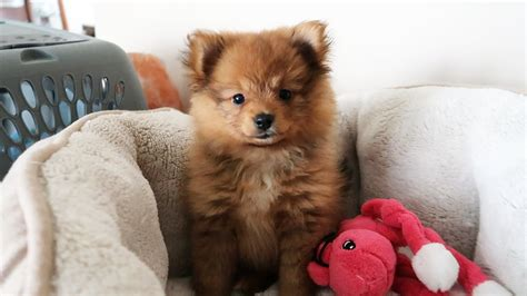 i got a puppy baby pomeranian www imgkid the image kid has it
