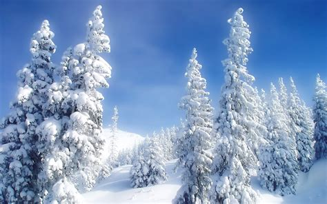 snowy fir trees wallpaper 26623