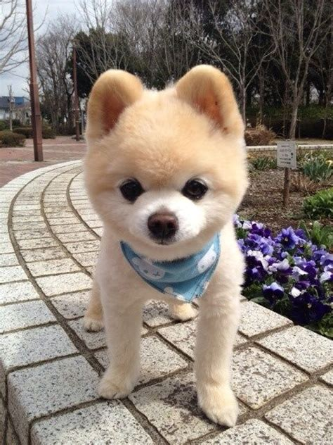 pomeranian puppies teddy cut shunsuke puppies for sale teddy cut pomeranian how the o