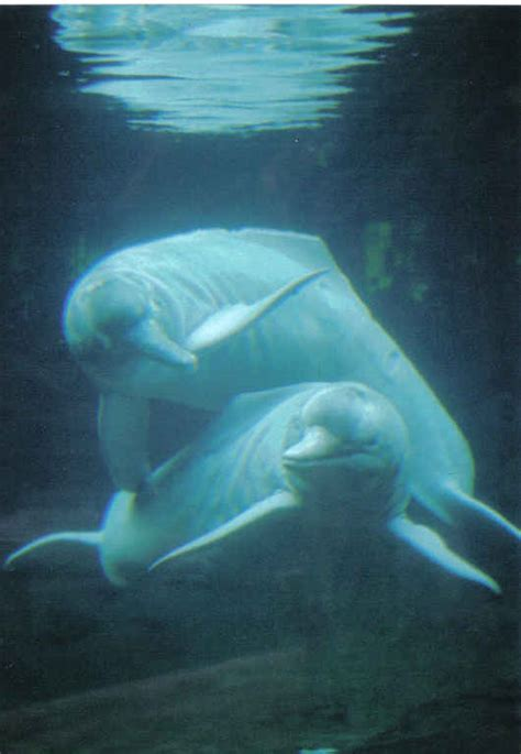 amazon river dolphin amazon river dolphin jpg