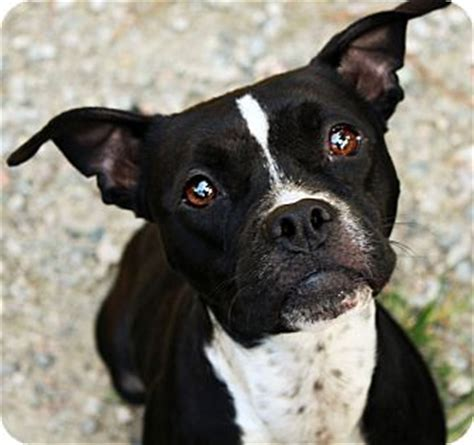 boxer boston terrier mix puppies maggie mae adopted augusta sc boston terrier boxer mix