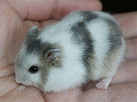 best bedding for hamsters 25 best ideas about russian dwarf hamster on pinterest