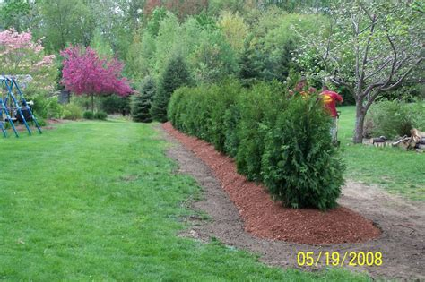 privacy hedge quot nigra quot arborvataes from shady oaks landscape