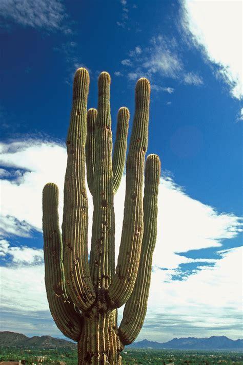 saguaro cactus  camelback mountain phoenix arizona