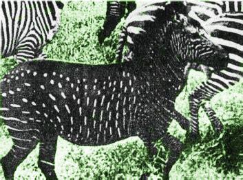 black zebra are zebras white with black stripes or black with white