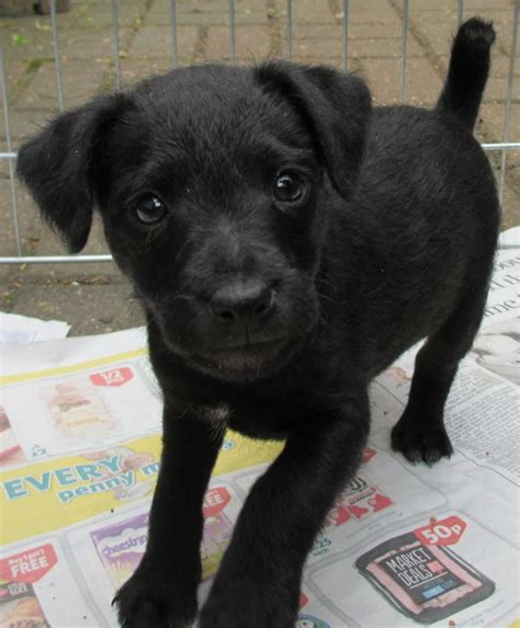 terrier puppy patterdale terrier puppies temperament pictures