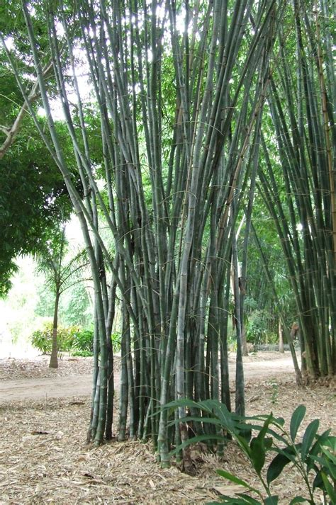 dendrocalamus strictus culcutta bamboo bamboo land