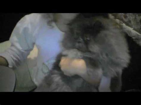 gatti persiani grigi gatto persiano grigio ettore