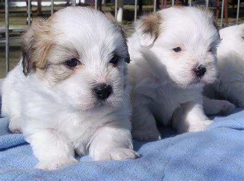 coton puppies coton puppy breeds picture
