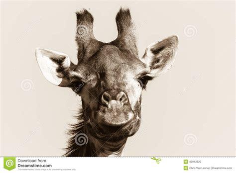imagenes de jirafas a blanco y negro vintage blanco negro principal animal de la jirafa de la