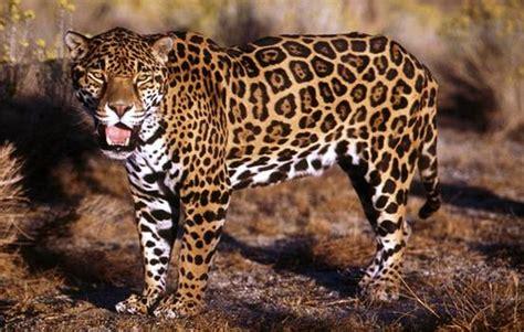 jaguar tier bilder jaguar tierbild und foto tier bilder