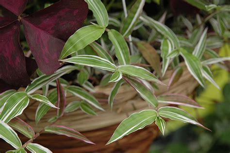 variegated basket grass oplismenus hirtellus variegatus