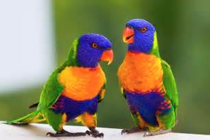 colorful parrots rainbow lorikeet australia beautiful bird of bird
