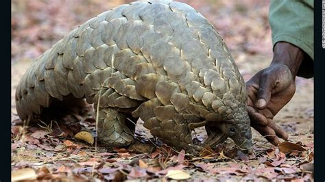overkill the race to save africa s wildlife books race to save pangolin from tragic end cnn