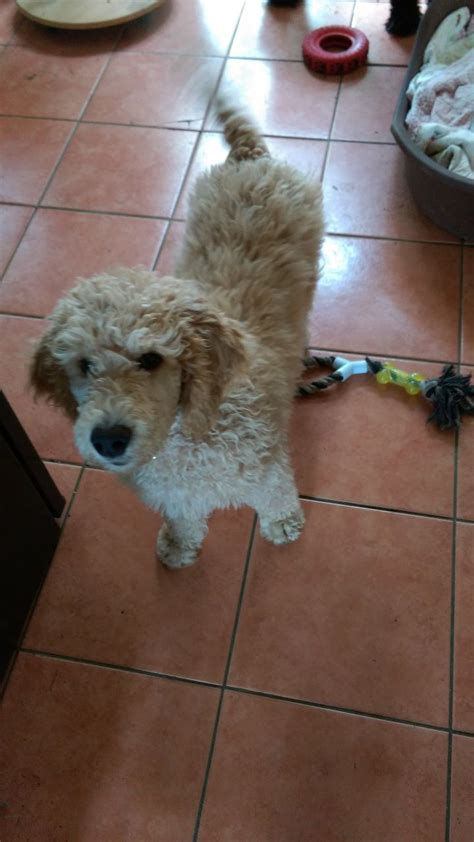 poodle puppy for sale standard poodle puppy for sale chester cheshire pets4homes