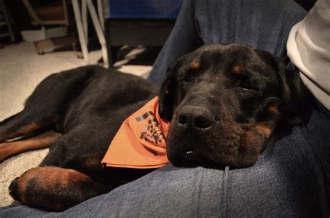 rottweiler cuddle the rescue story of allons y 1 800 petmeds cares