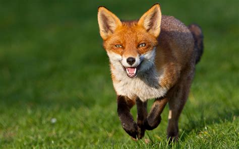 Like A Fox by Fox Facts History Useful Information And Amazing Pictures