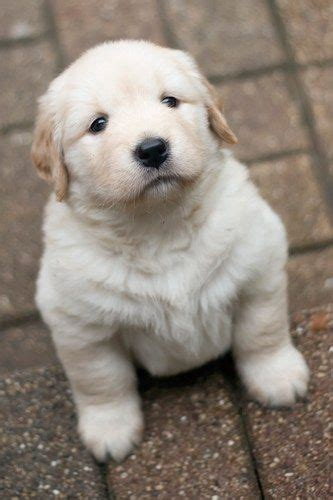 golden retriever protects baby 25 best ideas about puppies on bulldog puppies baby bulldogs and