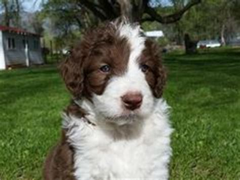 bordoodle puppies for sale bordoodle puppies for sale puppies for sale for sale puppys and