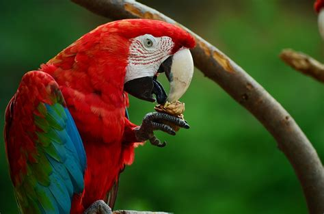 colorful parrots free photo parrot bird colorful ara free image on