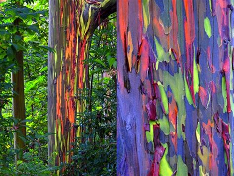 rainbow trees eucalyptus deglupta the rainbow eucalyptus tree