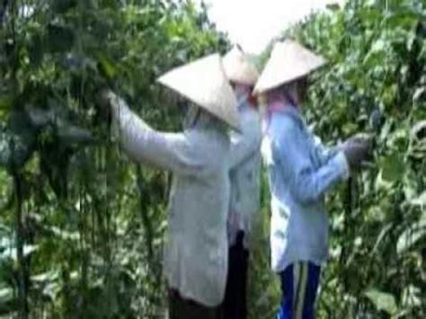 Pupuk Organik Grow More pupuk organik d i grow aplikasi pd tanaman kacang