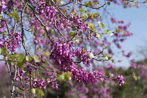 top 28 eastern redbud pruning eastern redbud boyd