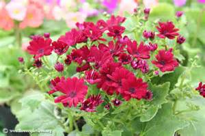 cineraria flower picture 29