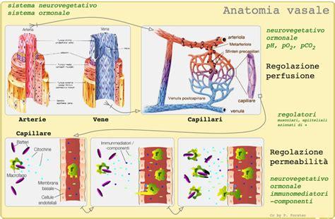 vaso sanguigno vene polmonari