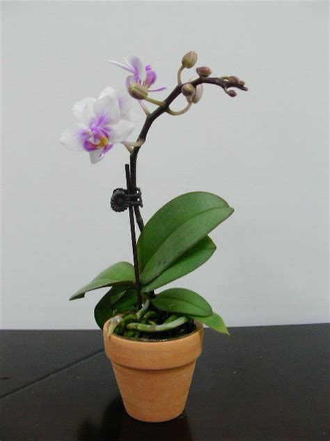 indoor flowers basic suggests on how to success growing indoor orchid
