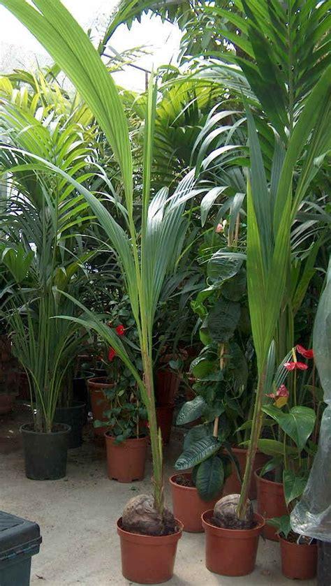 palme da vaso piante da vaso cocos cocos nucifera palma da cocco