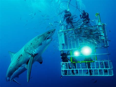 great white shark dive shark picture underwater photo national geographic