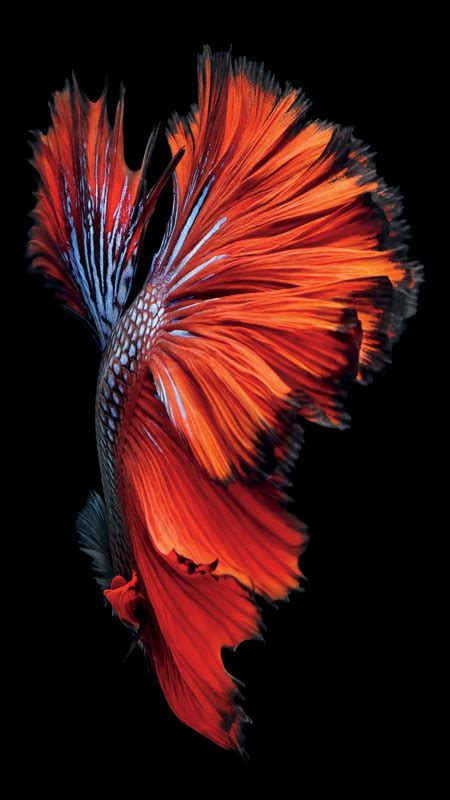 apple wallpaper betta fish get the beautiful live wallpapers from iphone 6s as still