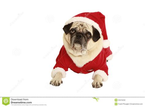 pug in santa costume pug in santa claus costume lying stock photography image 33410232