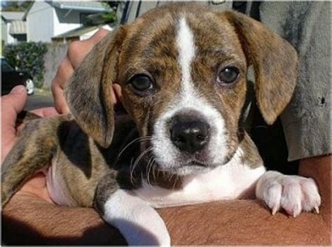 beagle terrier mix puppy boglen terrier breed information and pictures