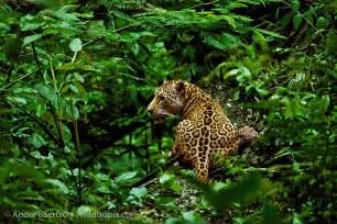 Do Jaguars Eat Plants Tropical Rainforest Carnivore Animals Foto 2017
