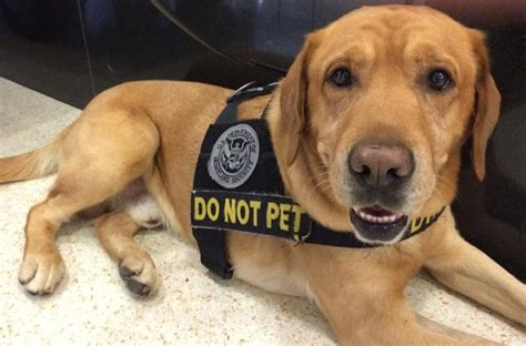 tsa dogs the tsa wants you to adopt their retired bomb sniffing dogs