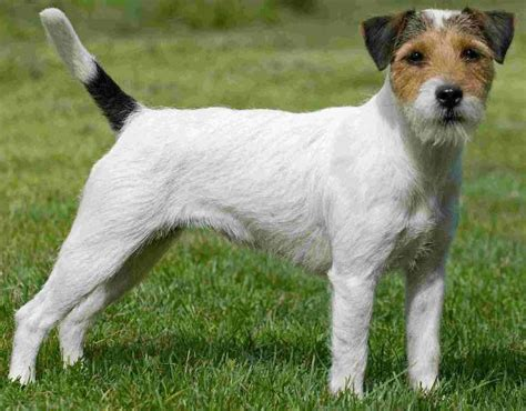 Parson Terrier Shedding by Parson Terrier Breed Information And Images