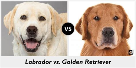 golden lab vs golden retriever difference between a labrador and a golden retriever