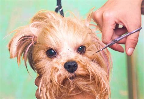 how to thin yorkies hair how to groom a morkie the morkie guide morkie dogs