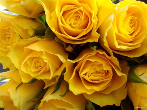 desktop wallpaper yellow roses yellow roses wallpapers wallpaper cave