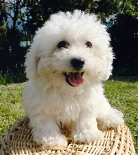 yorkie bichon poodle mix poodle mixes get to these designer breeds