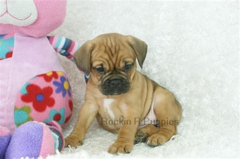How Much Do Puggles Shed by Puggle Bulldog Mix Breeds Picture