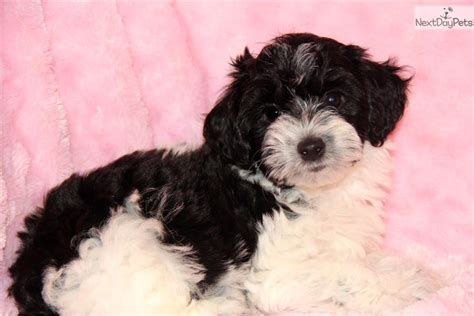 black and yorkie poo yorkie poos for sale in oklahoma 2015 personal