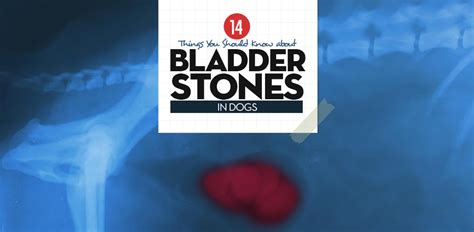 what causes bladder stones in dogs bladder stones in dogs 14 things pet owners must about them