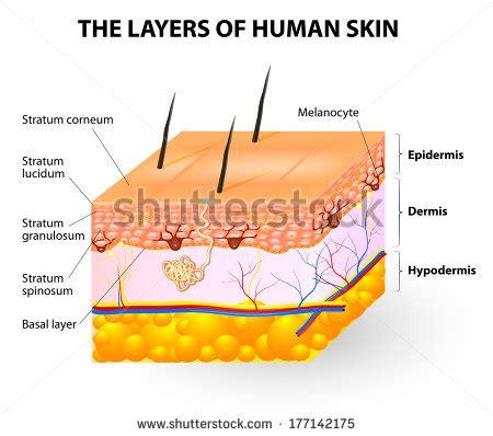 stock images similar to id 65616337 human skin macro texture melanocyte melanin layers human skin stock illustration 177142175