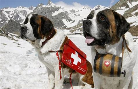 St Overal Puppy thinking aloud dogs st bernard