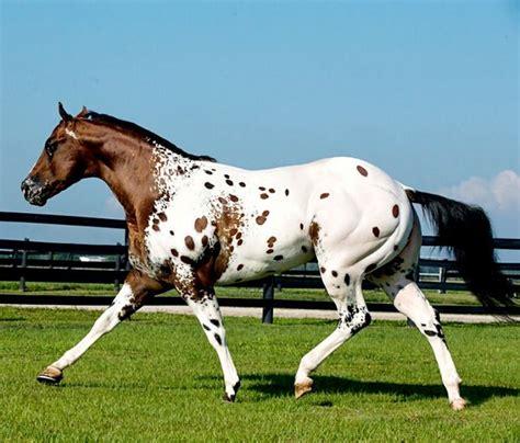 appaloosa stallion secret colors photo cheri prill paints appaloosas