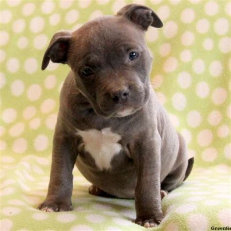 american bully puppies  sale greenfield puppies