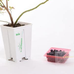pianta di mirtilli in vaso prodotti il sottobosco